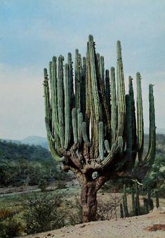 mama cactus