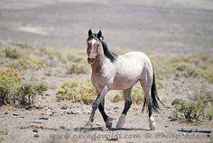 Nevada Wilds - Wild Horse Photography Brady