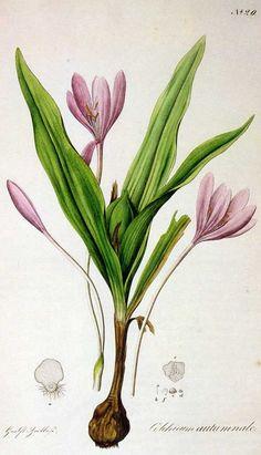 Colchicum Autumnale aka Autumn Crocus | The Poison Diaries