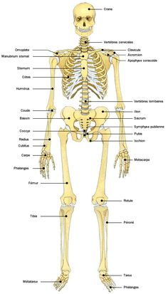 Anatomie atlas du corps humain squelette how to teach classical high school science Human Skeleton Anatomy, Human Body Anatomy, Human Anatomy And Physiology, Medical Laboratory Science, Science Humor, Medical Technology, Science And Technology, Technology Articles, Online High School