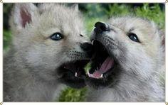Loups Cute Creatures, Beautiful Creatures, Animals Beautiful, Wolf Husky, Wolf Pup, Wolf Pictures, Animal Pictures, Baby Animals, Cute Animals