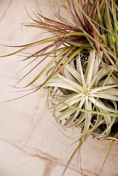Wish I hadn't killed my Tillandsia (Air Plants) last year... Really loved them. Maybe I'll try again with a few and follow the instructions this time around.