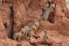 Mongoose family hiding in an Anthill. Mongoose