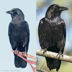 Ravens and Crows - Who Is Who. Is that big black bird a crow or a raven? How can you tell? Ravens (seen right here) often travel in pairs, while crows (left) are seen in larger groups. Also, study the tail as the bird flies overhead. A crow's tail is shaped like a fan, while the raven's tail appears wedge-shaped. Another clue is to listen closely to the birds' calls. Crows give a cawing sound, but ravens produce a lower croaking sound. Listen on this site.