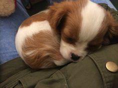 Super Cute Puppies, Cute Baby Dogs, Cute Little Puppies, Cute Dogs And Puppies, Cute Little Animals, I Love Dogs, Doggies, Cavalier King Charles Spaniel, King Spaniel