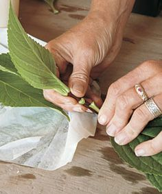 4. Remove leaves to create wounds. The wounds allow the rooting hormone to can gain entry into the stem.