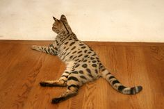 Savannah Cat- F2 hybrid, bred from African Serval