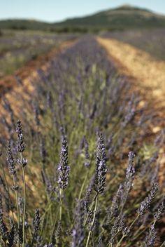 | Lavender |