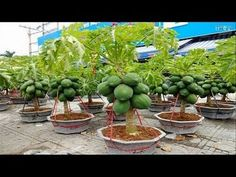Strange Papaya Bonsai Trees in Pots Make You Millionaire - Amazing Agriculture Technology Fruit Tree Garden, Fruit Plants, Garden Trees, Garden Pots, Dwarf Fruit Trees, Papaya Plant, Papaya Tree, Small Vegetable Gardens, Vegetable Garden Design