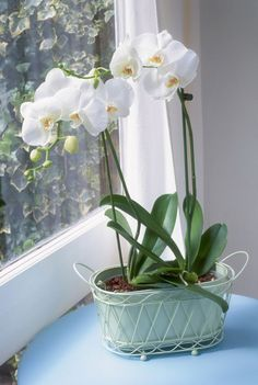 Indoor Vegetable Gardening Orchid in Windowsill - Figure out what could be hindering your orchids, how to encourage and help orchids to bloom, and how to help lifeless ones rebloom. Orchids Garden, Orchid Plants, All Plants, Indoor Plants, Indoor Orchids, Potted Plants, Planting Plants, Indoor Flowers, Growing Orchids