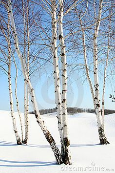 Winter Birch - this would be a nice composition