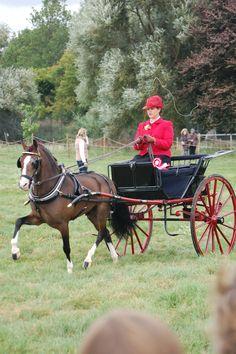 ashwellshow.co.uk. What a beautiful well formed miniature horse!