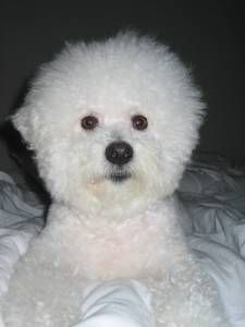 Picture of luxembourg, a male Bichon Frise