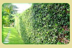 Trepadeiras planta trepadeira ramagens para muros cobertura vegetal em paredes Caza Paisagismo