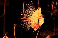 'Kapernblüte-Variation8' von lisa-glueck bei artflakes.com als Poster oder Kunstdruck $18.03