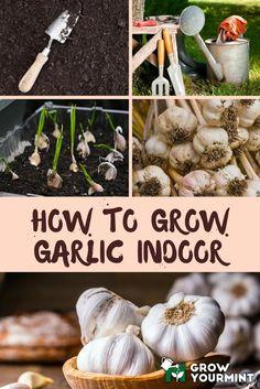 How-To-Grow-Garlic-Indoor
