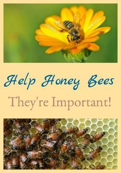 Help Honey Bees – They're Important!