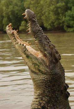 Saltwater crocodile, Darwin, Australia by Airflore Les Reptiles, Reptiles And Amphibians, Mammals, Krokodil Tattoo, Animals And Pets, Cute Animals, Saltwater Crocodile, Sea Crocodile, Crocodile Tears