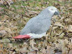 """""""Why can't the cat rake the leaves this time?"""" said the African Grey Parrot."""