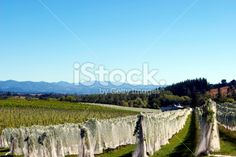 Rural Vineyard Scene, Moutere, New Zealand Royalty Free Stock Photo Agriculture Photos, Abel Tasman National Park, Turquoise Water, Image Now, Brewery, New Zealand, Vineyard, National Parks, Royalty Free Stock Photos