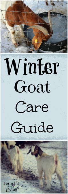 Winter Goat Care | What Do Goats Need In Winter | How to Care for Goats in Winter