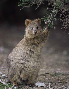 Quokka - native to Rottnest Island, off the coast of Western Australia. Cute as!