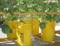 Green Roof Growers Growing Melons in Sub Irrigated Details 38 Vegetable Garden In 5 Gallon Buckets