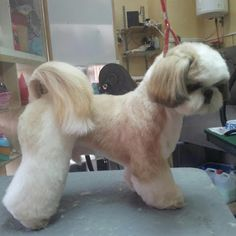 -Repinned-Shih Tzu clip-beautiful.