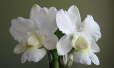 Cattleya walkeriana alba 'Equilab' - Orchid Board - Most Complete Orchid Forum on the web !