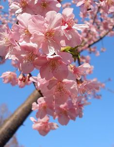 Cherry Flower, Cherry Blossoms, Birthday Wishes Flowers, Spring Blossom, Small Trees, Flower Petals, My Favorite Color, Asian Art, Beautiful Flowers