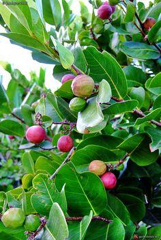 Zikak ! Fruit des antilles, qui colle les lèvres :) En Centro América icacos.