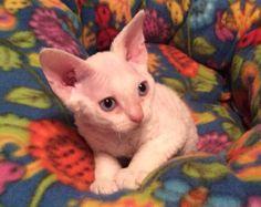 Devon Rex Cat Sparky @ 1 month Oct. 2013