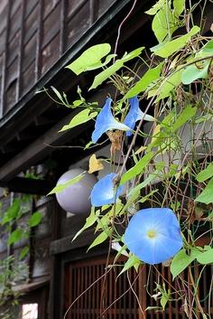 Asagao (Morning glory),Japanese typical summer scene.