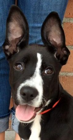 POSSUM (video) is an adoptable Border Collie Dog in Los Angeles, CA Hello! My name is Possum. I am a 7-month-old spayed female Border Collie mix. I weigh approxima ... ...Read more about me on @petfinder.com