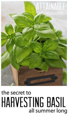 Use this method to harvest basil to ensure a continuous source of flavorful leaves all summer long! Pesto for dinner, anyone? Vegetable garden ~ growing food ~ homestead