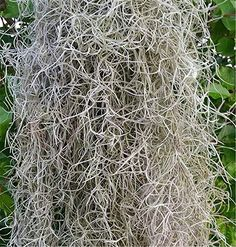 Spanish Moss Fresh & Live LB) as seen down south Florist Supplies, Craft Supplies, Pet Supplies, Euphorbia Milii, Epiphyte, Plants For Hanging Baskets, Plant Covers, Spanish Moss, Dollar Tree Crafts