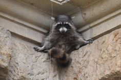 The first raccoons, which are native to North America, were brought to Germany...