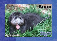 Beau is an Aussiedoodle Therapy dog....