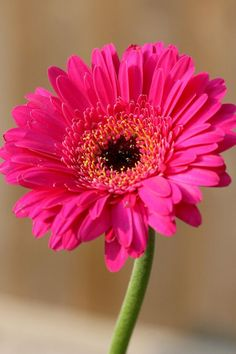 Gerbera Daisy in Hot Pink My Flower, Pretty In Pink, Beautiful Flowers, Hot Pink Flowers, Simply Beautiful, Margaritas Gerbera, Pink Gerbera, Gerbera Daisy Tattoo, Pink Daisy
