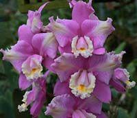 Cattleya harrisoniana peloric 'F. Miranda' x self