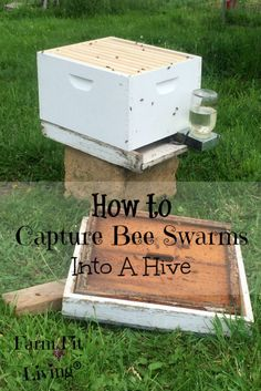 How to Capture Bee Swarms Into a Hive
