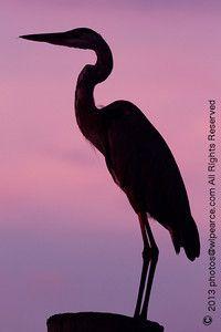Water Birds of Florida. Silhouette Pictures, Animal Silhouette, Silhouette Art, Shadow Painting, Florida Water, Bird Quilt, Blue Heron, Sea Birds, Beautiful Birds