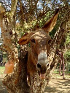 Langoor Donkey Funny, Cute Donkey, Donkey Rescue, Heraklion, Crete Greece, Donkeys, I Fall In Love, Cow, Horses