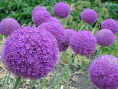 allium- blooms in spring, full sun to partial shade, plant in early fall