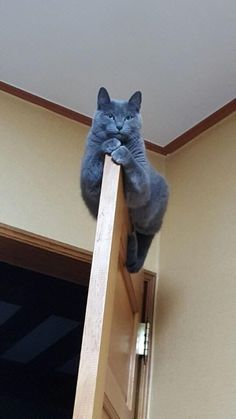 Russian Blue Cats Kittens Gray cat on top of the door Animals And Pets, Funny Animals, Cute Animals, Cute Kittens, Cats And Kittens, Beautiful Cats, Animals Beautiful, Cat Behavior, Grey Cats
