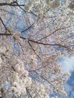 pretty cherry blossoms