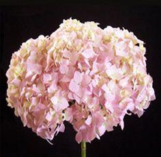 photos of pink hydrangeas | Pink Hydrangea Natural