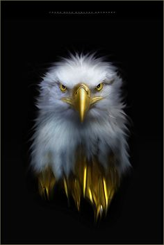 Eagle Images, Eagle Pictures, Lion Images, Beautiful Birds, Animals Beautiful, Camoflauge Wallpaper, Poodle Drawing, Eagle Wallpaper, Eagle Painting