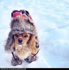 It snowed again today, but this time adorable Cavalier King Charles Spaniel pup Indie was prepared Cavalier King Charles, Cavalier King Spaniel, King Charles Puppy, King Charles Spaniel, Spaniel Breeds, Spaniel Puppies, Dog Breeds, I Love Dogs, Cute Dogs
