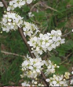 Blackthorn is a shrub belonging to the same genus (Prunus) as almond, cherry and plum trees. The specific epithet spinosa refers to the sharp spines or thorns that are characteristic of this plant. Prunus, Edible Plants, Plants, Edible Flowers, Wild Plants, Flower Fairies, Garden Hedges, Dream Garden, Flowers